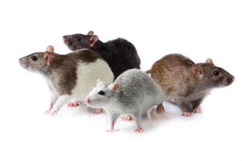 imagenes de ratas halloween que significa so 241 ar con ratas y ratones 161 desc 250 brelo ahora