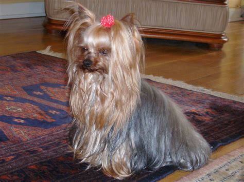 haircuts for yorkshire terriers with silky hair haircuts for silky terriers newhairstylesformen2014 com