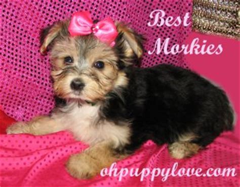 yorkies for sale in rochester ny tea cup poodle for adoption rochester ny bed mattress sale