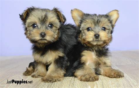 just puppies net puppies for sale orlando fl justpuppies net