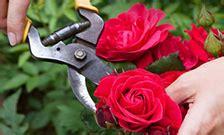 rose bushes roses   home depot