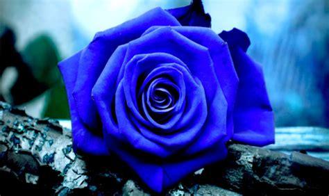 4 flores azules para jard biotecnolog 237 a s 237 rosas azules para tu jard 205 n
