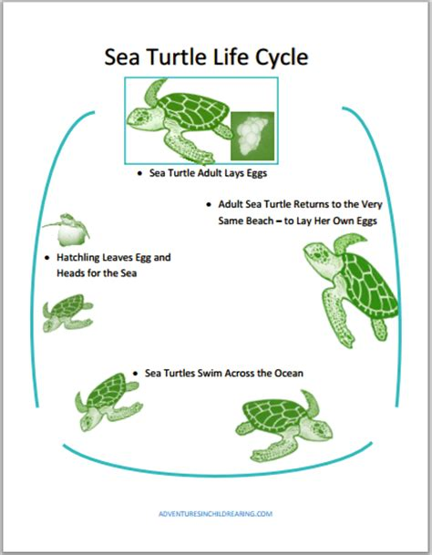cycle of a turtle diagram sea turtle cycle printables