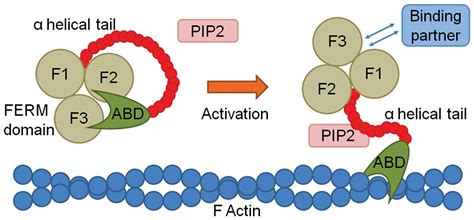 protein 4 1r ferm family proteins and their importance in cellular