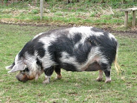 a kune kune pig 169 evelyn simak cc by sa 2 0 geograph britain and ireland