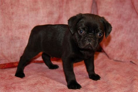 pug puppies ny pugs for sale in manhattan manhattan puppies kittens