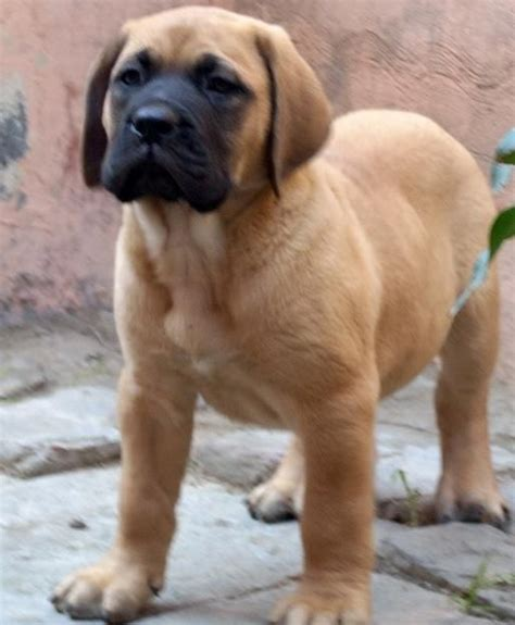 english mastiff dog house english mastiff dog house dog breeds picture