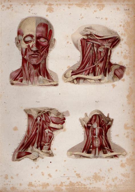 testa anatomia 29926 anatomia muscoli della testa galleria garisenda