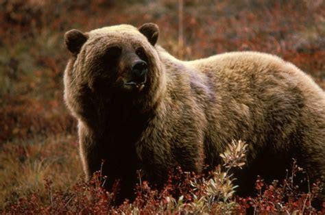 bear s grizzly bear the animal life