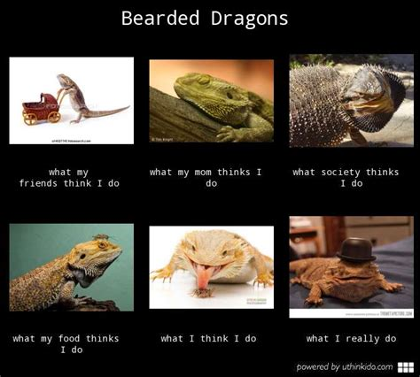 Bearded Dragon Meme - quotes about bearded dragons quotesgram