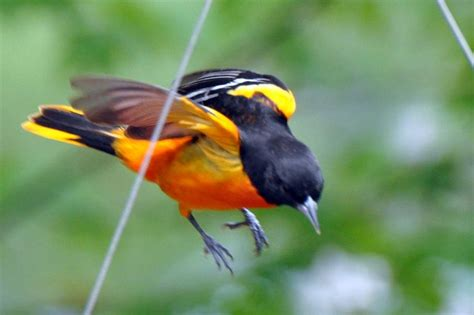 oriole coming in for food birds pinterest
