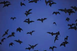 What Time Do The Bats Fly In A Few Words For Bats Advocacy For Animals