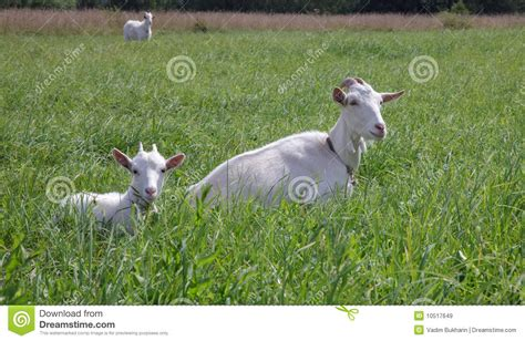The Nanny Goat S Kid nanny goat and kid royalty free stock images image 10517649