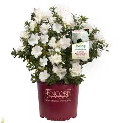 Moonlight Flower - autumn moonlight encore azalea bushes for sale the