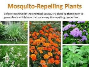 plants that repel mosquitos the great outdoors pinterest