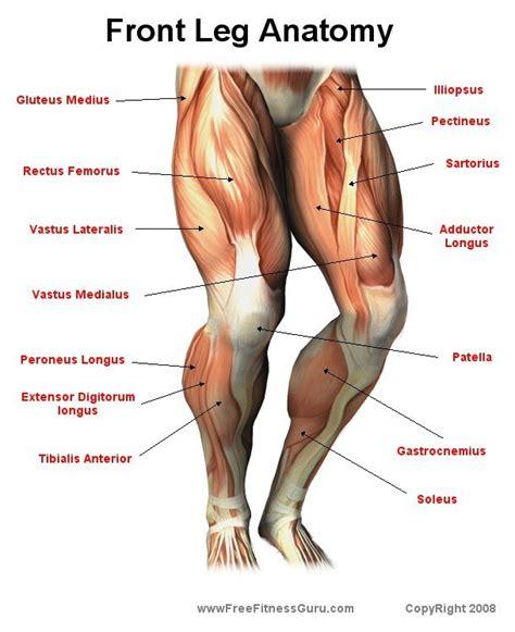 leg anatomy freefitnessguru front leg anatomy