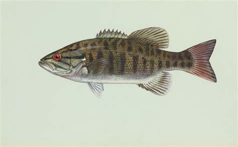 Fisch Bass by Micropterus Dolomieu