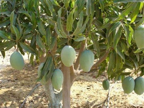 Mangga Harum Manis panoramio photo of buah mangga harum manis