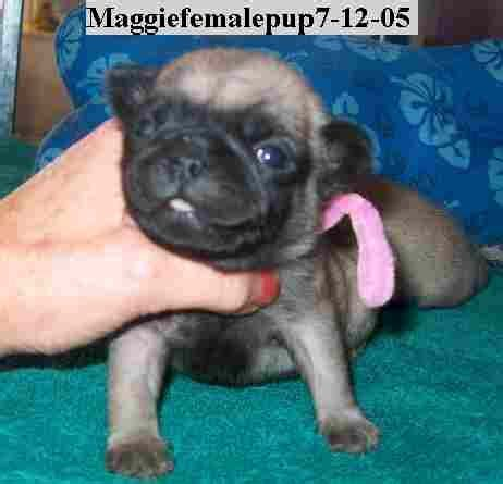pugs in nc pug pups in nc for sale adoption from burgaw carolina adpost classifieds