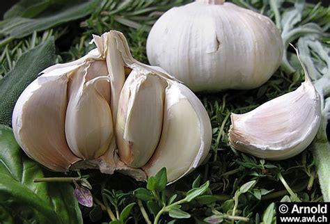 Tanaman Obat Bawang Lanang green city of cijantung bawang putih allium sativum tanaman obat