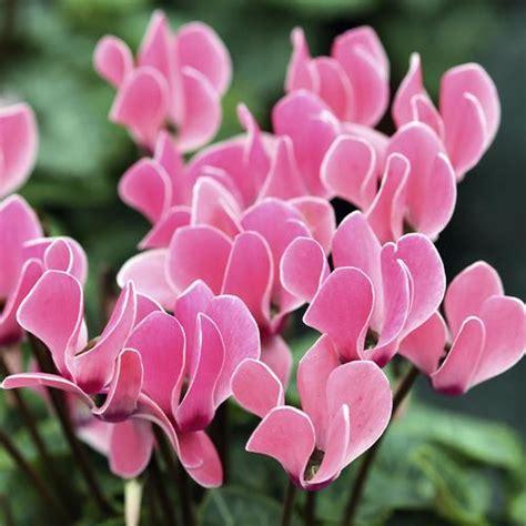 Supérieur Plante Pour Jardiniere Balcon #3: cyclamen_plante_fleur
