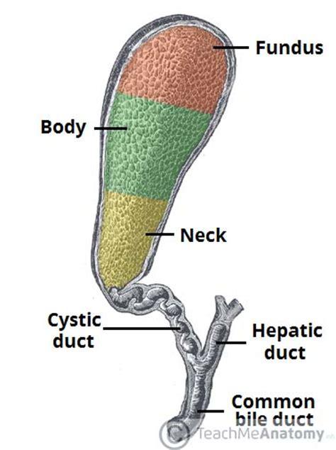 fundus of gallbladder the gallbladder biliary tree gallstones teachmeanatomy
