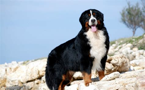 cani da appartamento per bambini cani da guardia adatti ai bambini conosciamo le razze