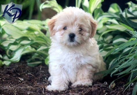 havanese puppies pennsylvania 32 best havanese images on
