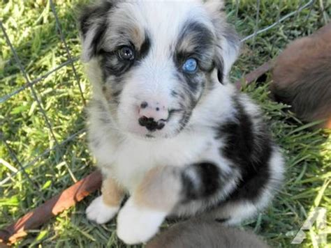 border aussie puppies for sale blue merle australian shepherd border collie border aussie for sale in