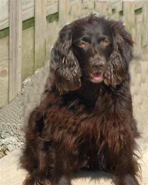 boykin spaniel puppies for sale in nc purebred boykin spaniel puppies for sale find a purebred breeder near you