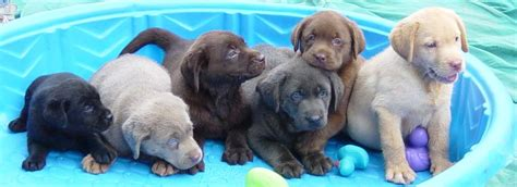 colors of labs chocolate yellow black white silver and labrador