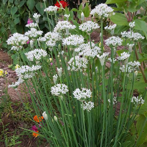 herbs   butterfly garden