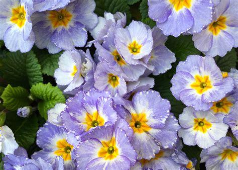 what color is primrose primrose blue the frustrated gardener