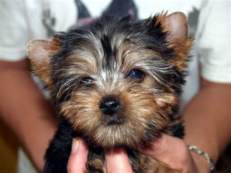 miniature yorkie for adoption purebred yorkie quotes