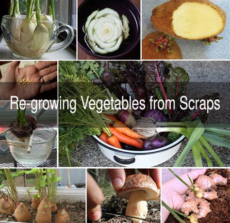 Olivia S Solutions Blog Plant Cloning Propagation Vegetable Scraps In Garden