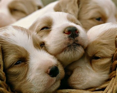 puppy pics hd puppy dogs baby image gallery wallpaper free 141643