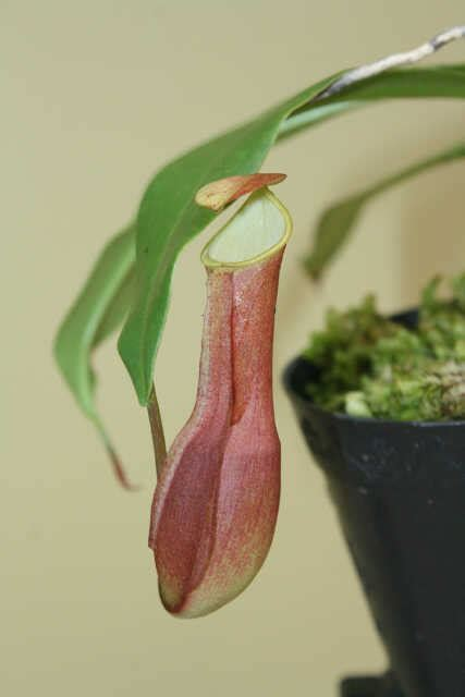 Jual Alat Hidroponik Pontianak jual tanaman nepenthes reinwardtiana merah bibitbunga