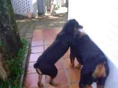 rottweiler attacks statistics pitbull and rottweiler attack ataca rudolf