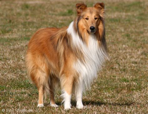 pictures of collie dogs collie pictures and informations breeds