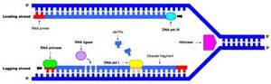 7 2 dna replication bioninja