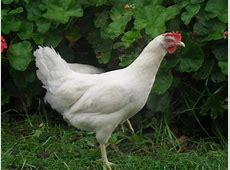 Barter White Chickens For Sale White Chicken