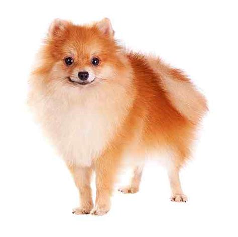 different types of pomeranian dogs different types of pomeranians