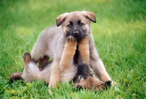 german shepherd puppies cost how much do german shepherds usually cost