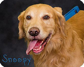 golden retriever puppies adoption pa somerset pa golden retriever mix meet snoopy a for adoption