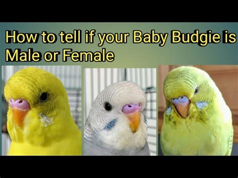 how to tell if your is in how to tell if your baby budgie is a or