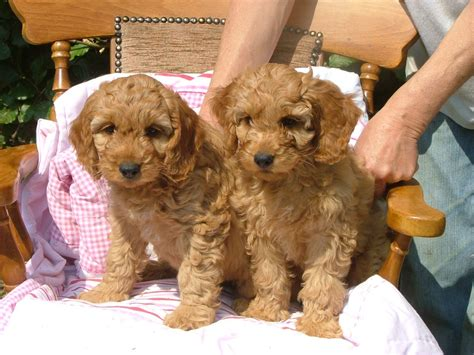 where to sell puppies and gold cockapoo puppies for sale kidderminster