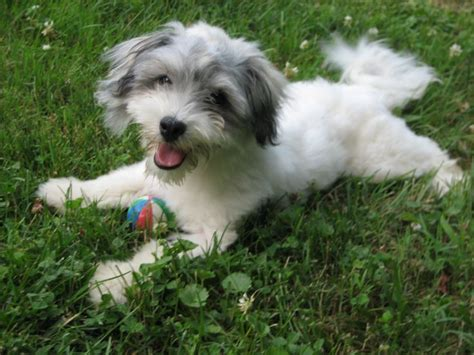havanese puppies alabama 1000 images about havanese dogs on coats dogs and island