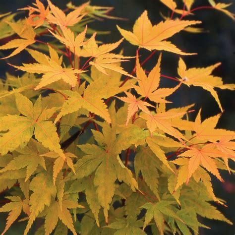 Erable Du Japon by Erable Du Japon Senkaki Plantes Et Jardins