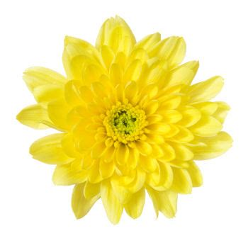 new year flowers chrysanthemum celebrate new year with these flowers grower