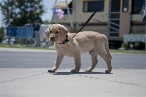walking puppy how to teach a puppy to walk on a leash american kennel club